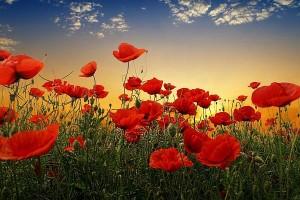 Anzac-poppies-300x200